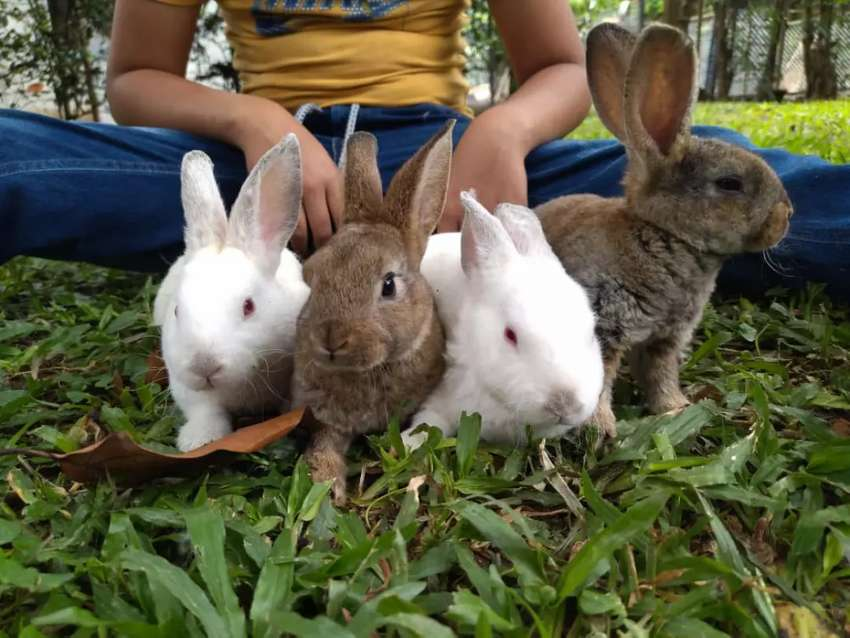 Se venden conejos rex antialérgicos y gigantes  raza Flandes  ,en piedecuesta  vía Postobón
