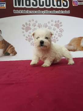 Puros bebés raza west higland terrier