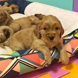 lindos perros entrega inmediata con certificado cachorros de 48 dias de vida