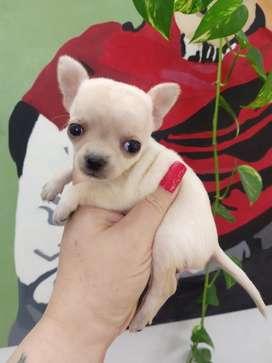 Chihuahua Minis.