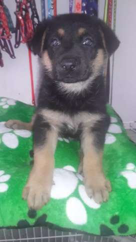 Vendo cachorros pastores alemanes linea alemana