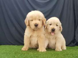 Gruesos Golden Retriver Carismaticos