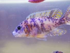 Hermosos peces Ciclidos aulonocara desde 3 cm