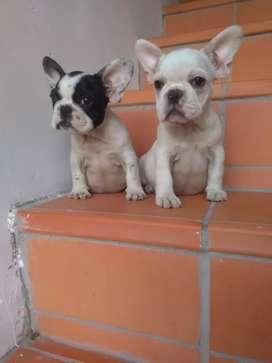 Bulldog francés 5 machos 1 hembra de 2 meses de.nacidos