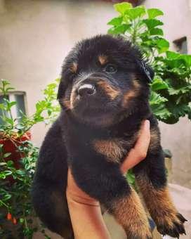 Cachorros Rottweiler  alemán edad 50 dias