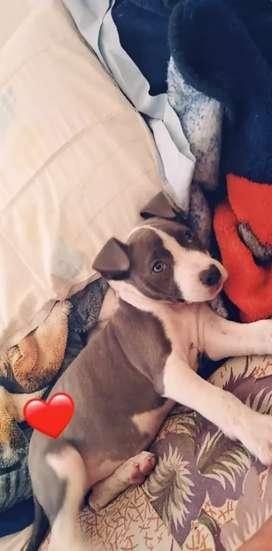 Vendo hermosos cachorros pitbull