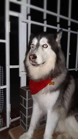 Busco novia lobo siberiano