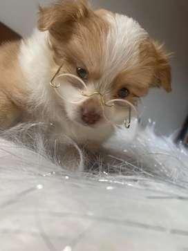 Chihuahua exotico pelo largo