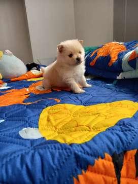 Cachorro lulú pomerania