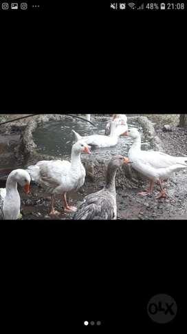 Patos Ganzos....para Hacer Cria