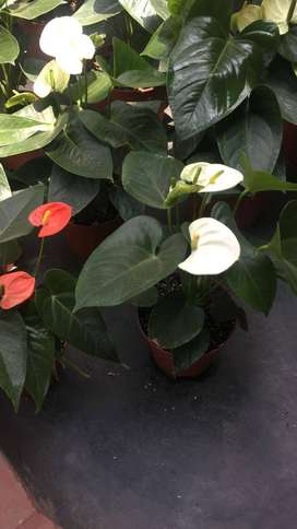 anturios por mayor y menor plantas