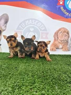 Yorkshires terriers hembra machito