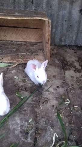 Conejos rex miñatura
