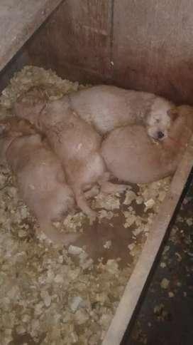 Vendo  4 perros Golden Retriever