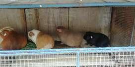 Venta de cuyes mejorados en Arequipa machos y hembras buena genética