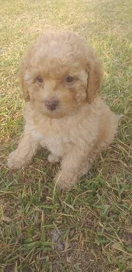 Ven a mí cachorro poodle Toy apricot vacunada de prestada