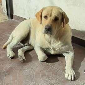 Labrador para servicio