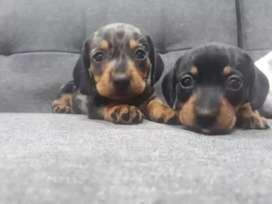 Machos con pedigree