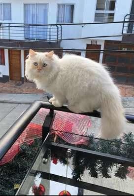 Gato persa macho con gimnasio