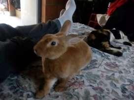 Conejo con un año