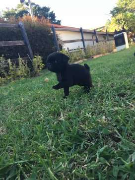 Se vende perrito pug mini negro