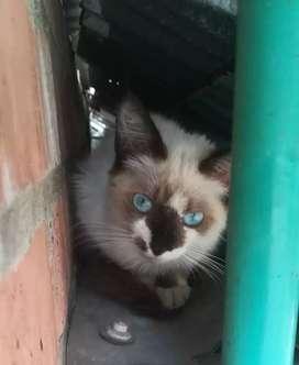 Gatica siamés en adopción