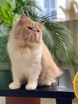 Gato Persa para monta ! Excelente genetica