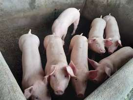 Cerdos gordos