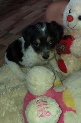 Cachorro Mini toy