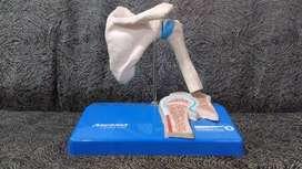 huesos para vitrina medicina o centro medico