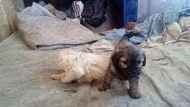Vendo perritos caniche baratito dos mil por cada unoo