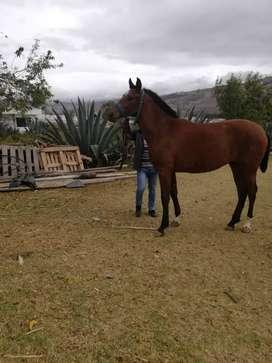 Se vende caballo español con papeles negociable