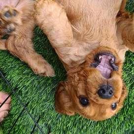 perras entrega inmediata cachorras de 45 dias