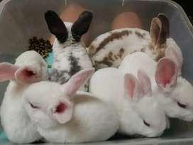Conejos rex antialergicos