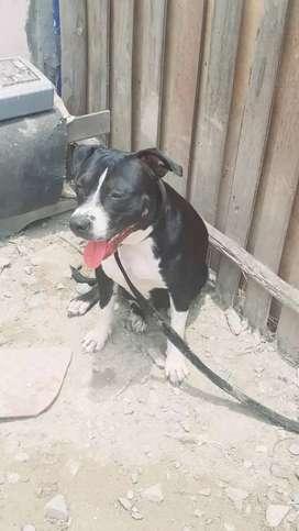 Doy en adopción pitbull hembra por mudanza Urgente