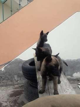 Cachorros pastores belga malinois