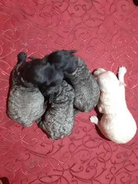 Caniches grises