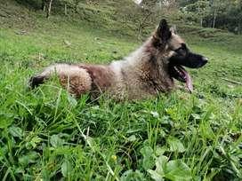 Pastor-lobo para monta, excelente genética, calidad natural