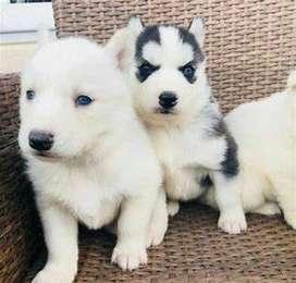 Cachorros de características preciosas y color divino Husky lobo Siberiano