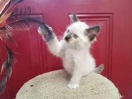 Vendo gatos ragdoll mimados