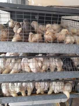Pollos de 21 días