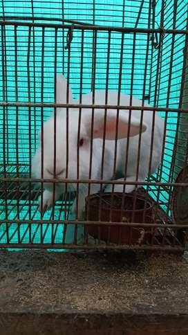Venta de coneja nueva zelanda x belier