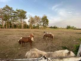 Ponys falabella