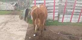 Vendo preciosas vaconitas recien paridas y vacas.