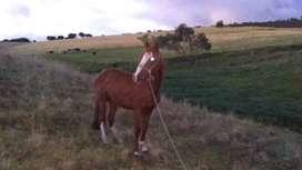 Vendo caballo burrero