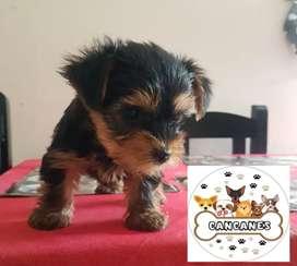 Hermosisimo yorky terrier mini