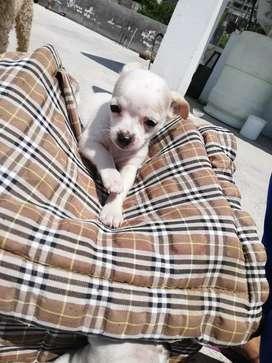 Se vende Cachorro macho Chihuahua
