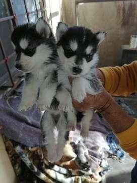 * LOBOS HUSKY SIBERIANOS OSICO AÑCHO  PELUDOS Contamos con los cachorros con la mejor característica para entrega machos