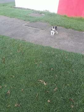 Vendo 1 perrito huski