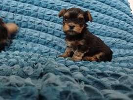 Yorshire terrier MACHOS